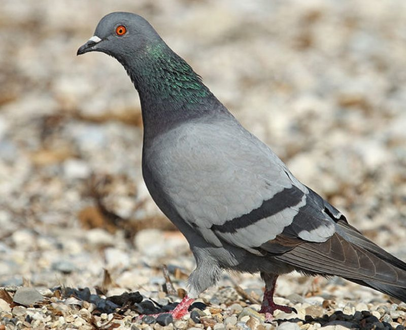 photo de pigeons rah 3d