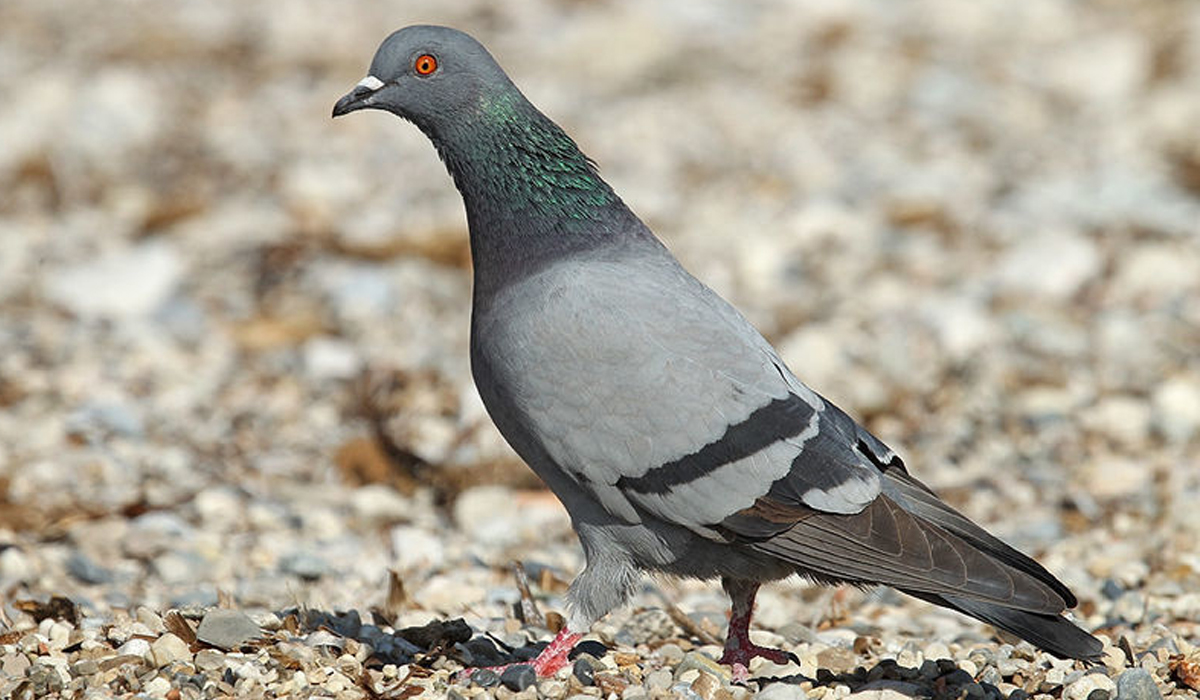 photo de pigeons rah 3d
