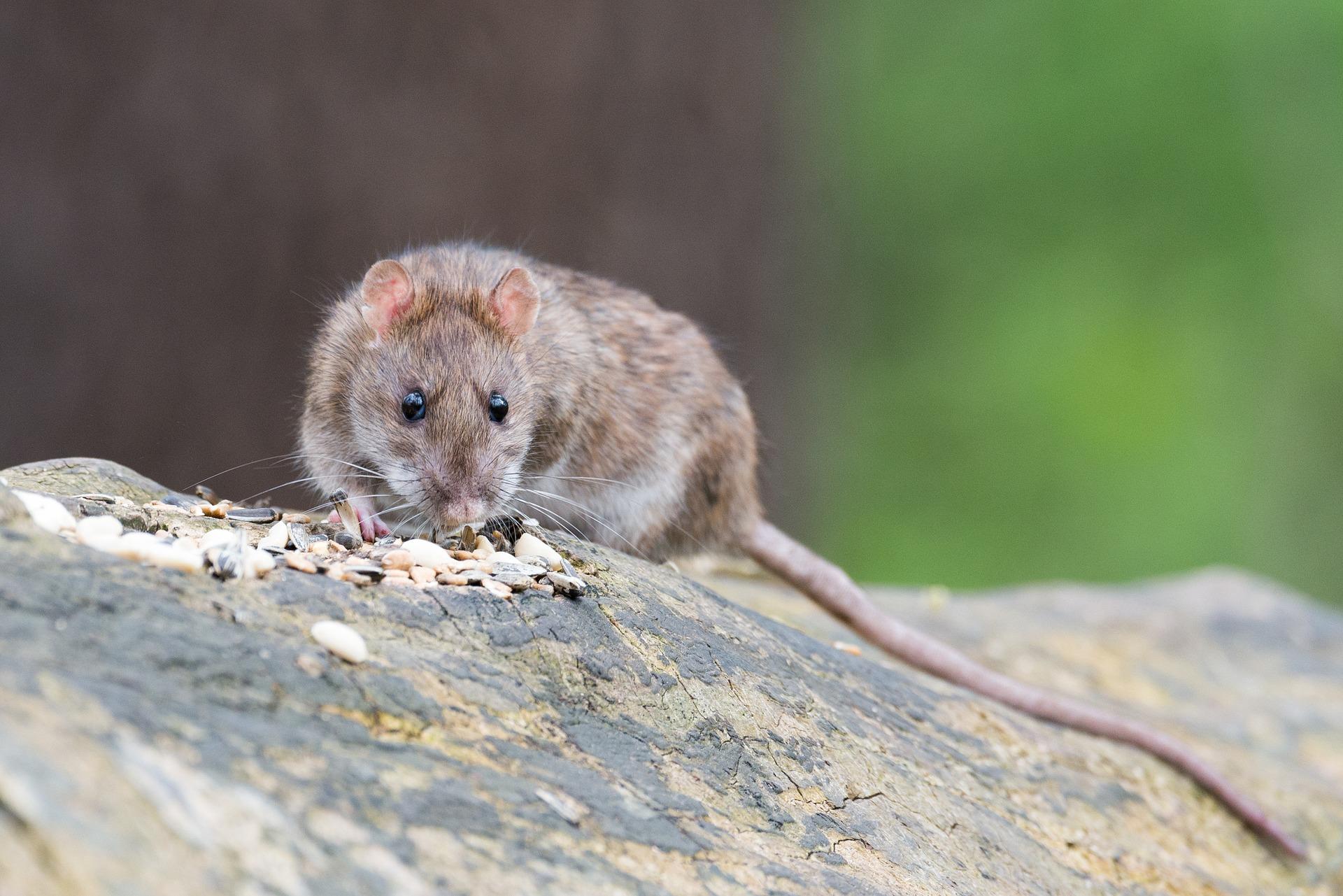 photo de rat brun rah 3d