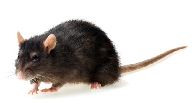 photo de rat noir rah 3d