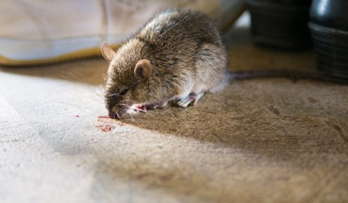 photo de rat rah 3d